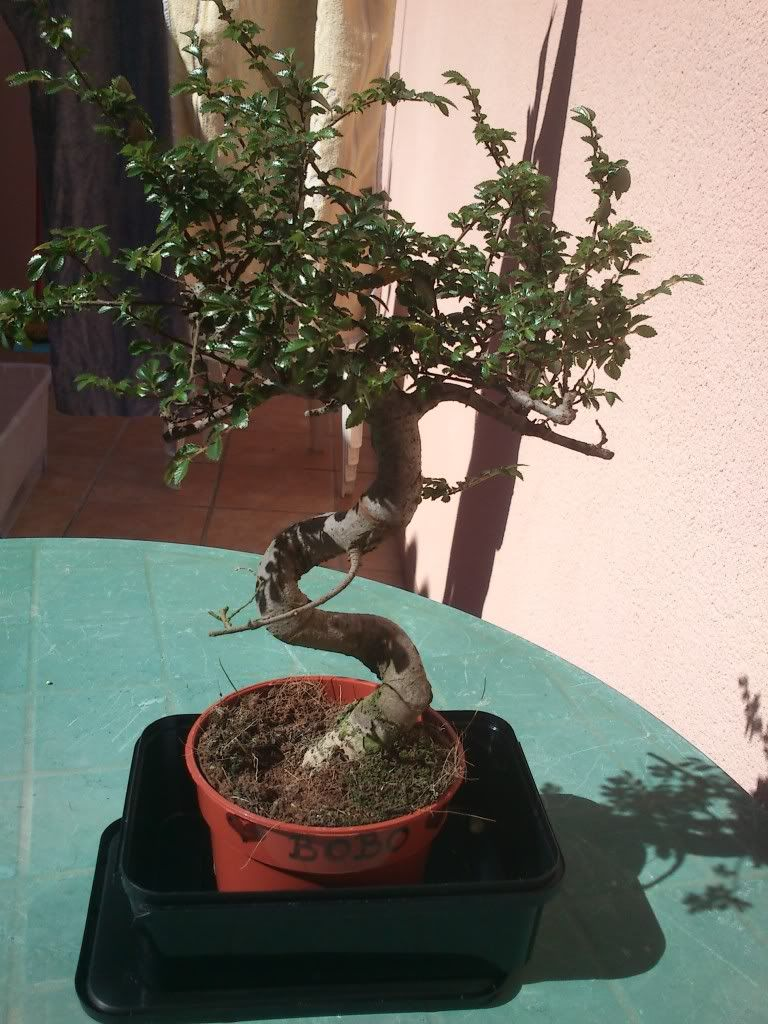 Bobo, mi primer bonsai DSC_2641