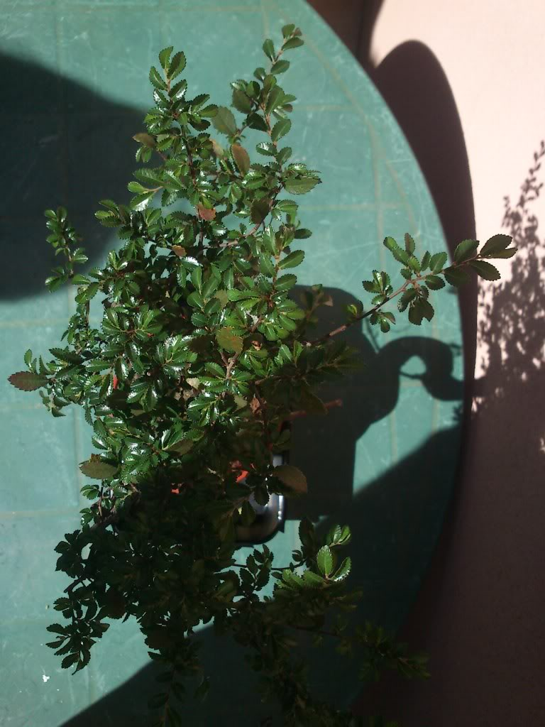 Bobo, mi primer bonsai DSC_2642