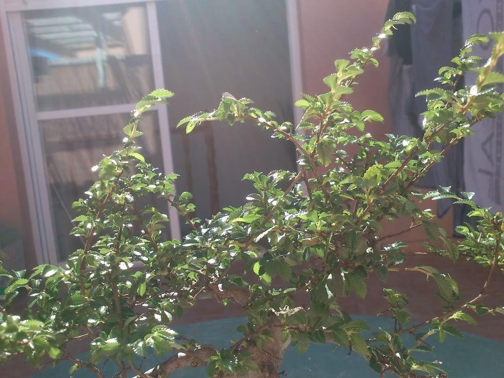 Bobo, mi primer bonsai DSC_2643