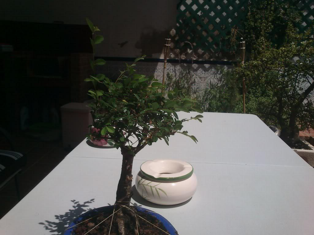 Olmo chino- Escoba (ayuda) DSC_2711