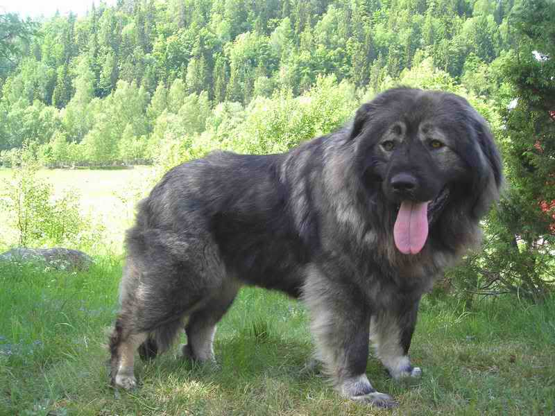 Shalunya & Durzhok (USSR dogs)  Tamara-010608-010b