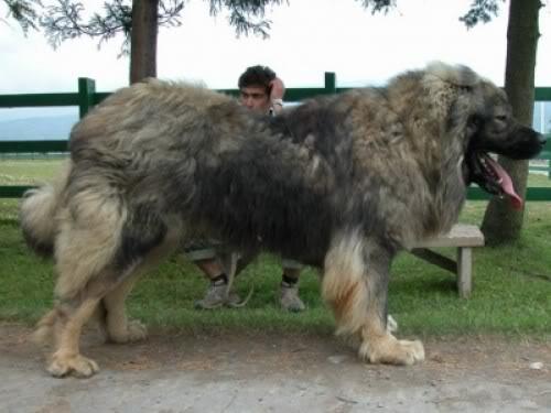 Shalunya & Durzhok (USSR dogs)  Kafkaz_shepard_dog-e1268776293318