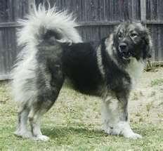 Shalunya & Durzhok (USSR dogs)  ThumbnailCAGQIHVC
