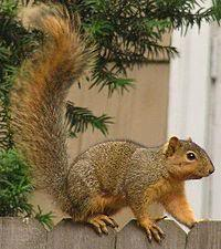Picture fight (game) Squirrel