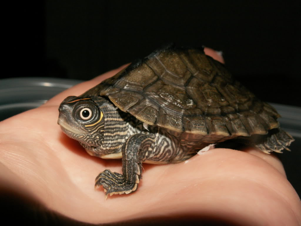 Baby Map Turtle PICT0013-1