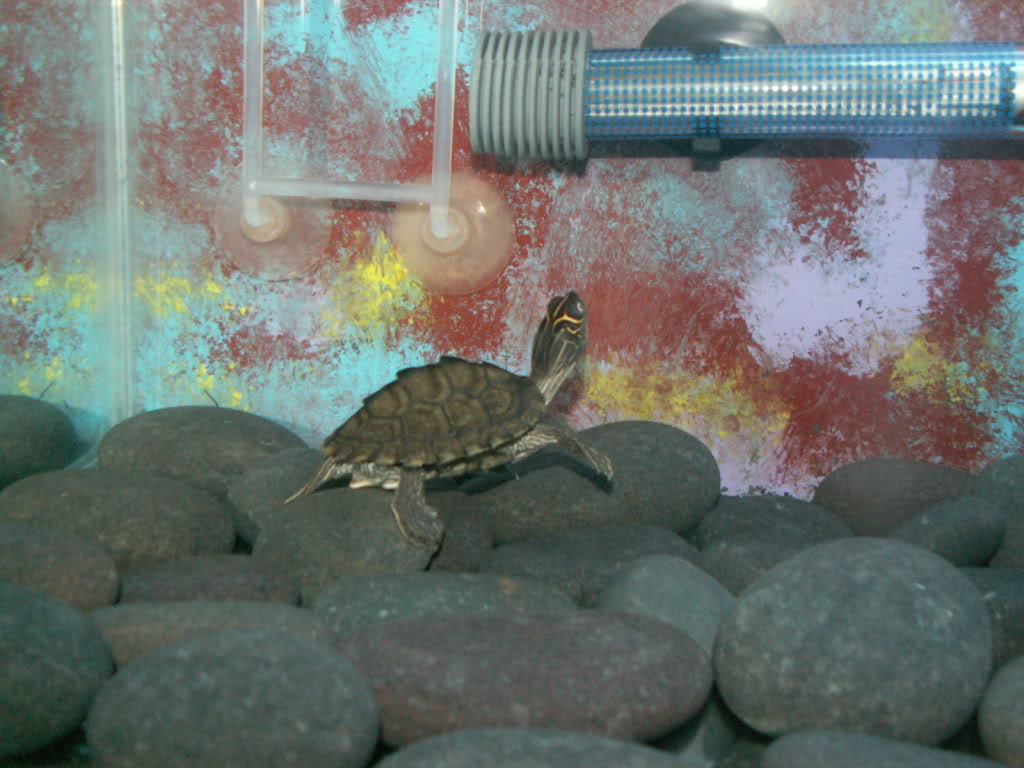 Baby Map Turtle PICT0016