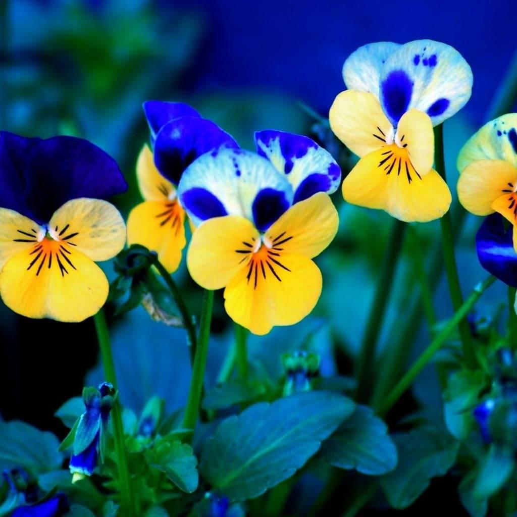 Flower Wallpapers  Pansy-Flowers-iPad-wallpaper-ilikew_zps364e1ecb