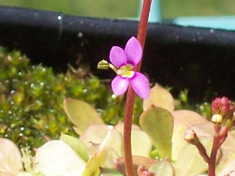 My flowering Stylidium debile 002-1