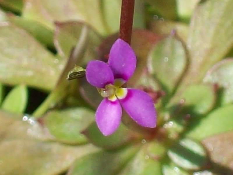 My flowering Stylidium debile 004-3
