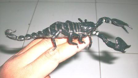 newbie scorpio Editan7