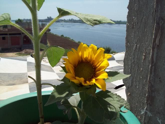 مراحل نمو دوار الشمس بالصور 100_8785