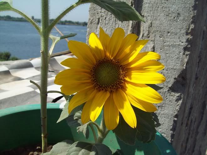 مراحل نمو دوار الشمس بالصور 100_8807