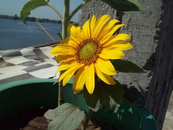مراحل نمو دوار الشمس بالصور 100_8809
