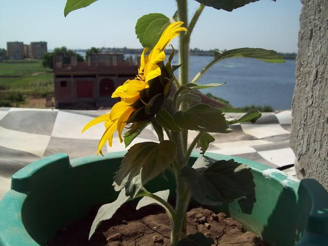 مراحل نمو دوار الشمس بالصور 100_8810