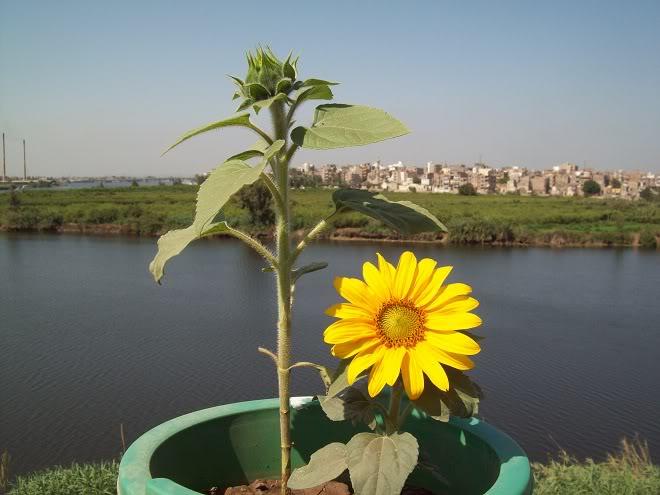 مراحل نمو دوار الشمس بالصور 100_8816