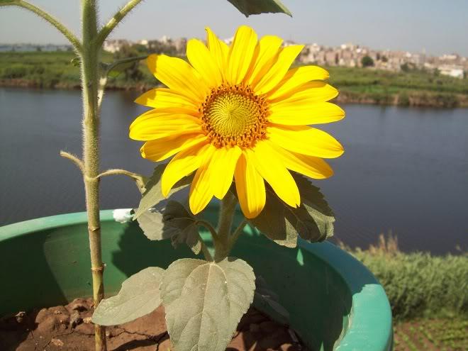 مراحل نمو دوار الشمس بالصور 100_8817