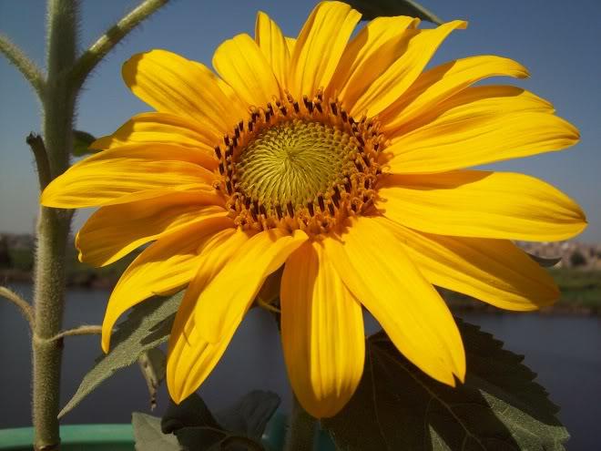مراحل نمو دوار الشمس بالصور 100_8822