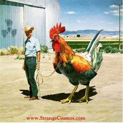 THE YEAR OF THE CHINESE FIRE ROOSTER  ROOSTER_zpsfbhmtgen