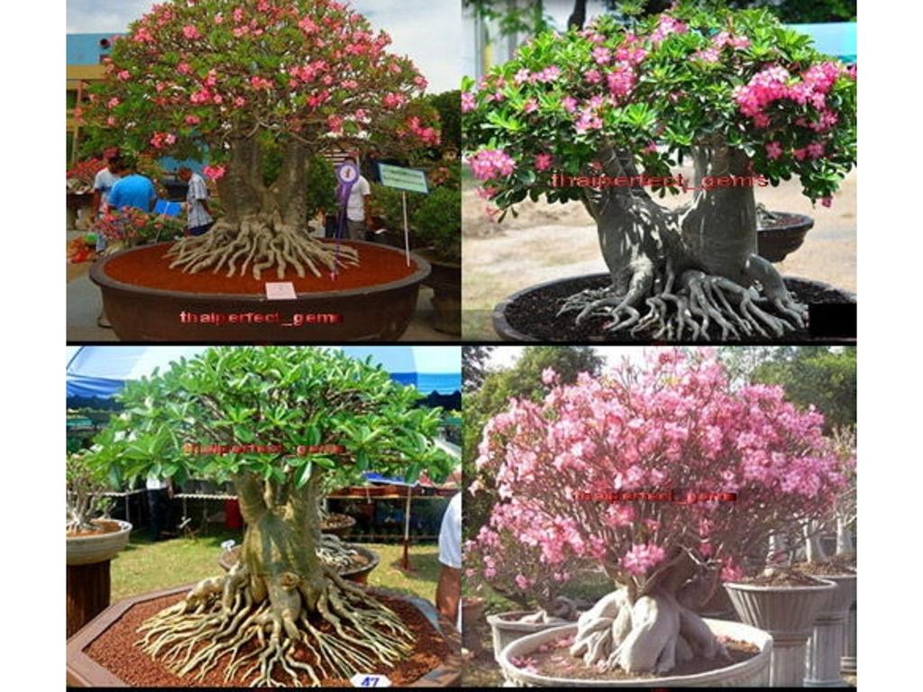 Prodajem sadnice Adenium arabicuma Adenium-arabicum-mix-4-vrste-seme_slika_O_30852277