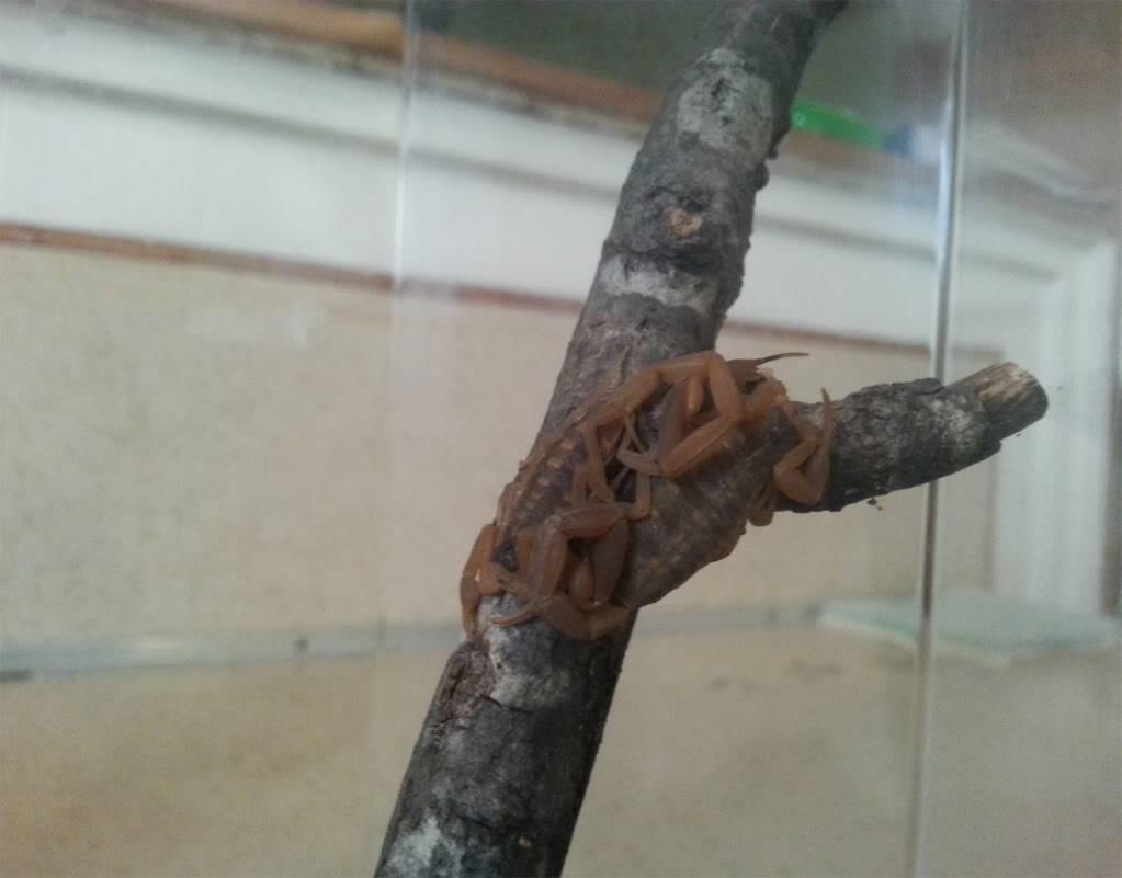 Wondering why my Male/Female Bark Scorpions wont breed? Wefwe_zpsb00919a6
