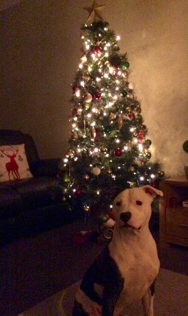 Staffy and a Christmas treeeeee Image.jpg1_zpslmyfl9yv