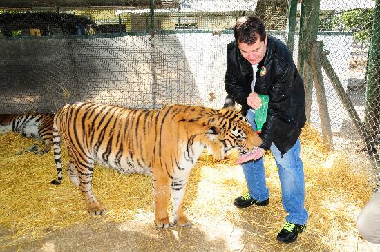 Comparação de  tamanho entre  animais  e   Seres humanos Tigre