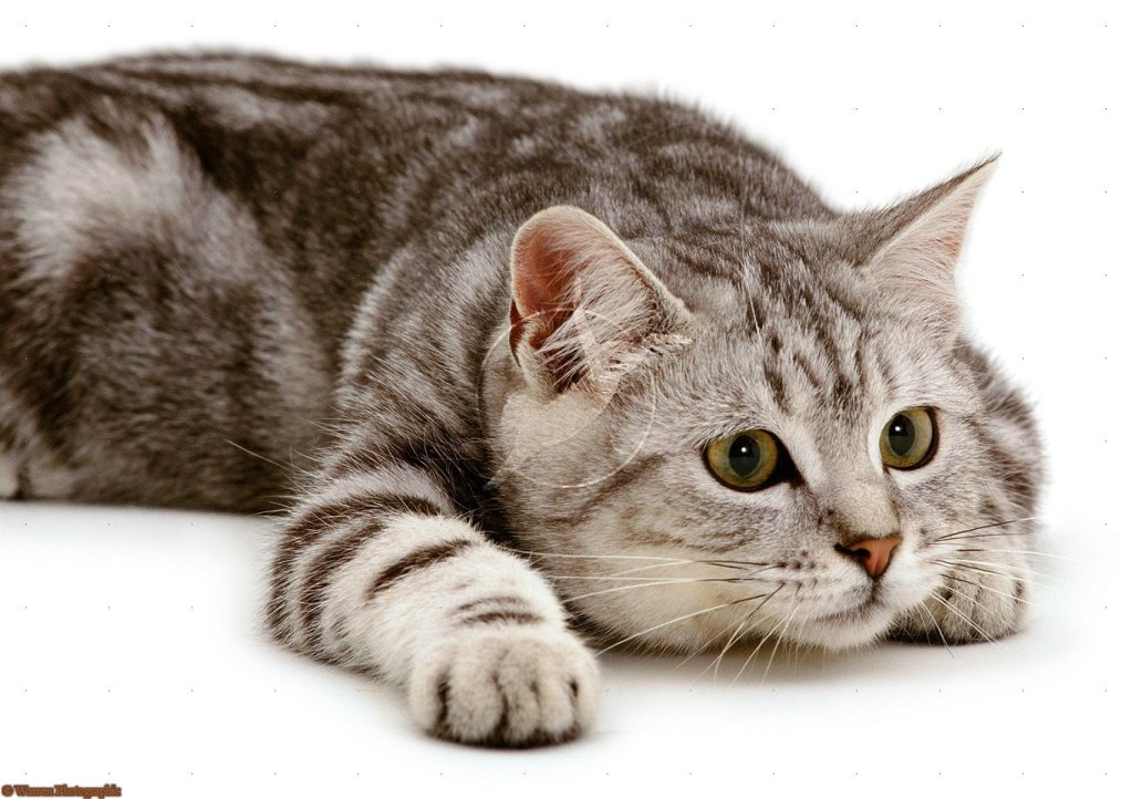ThunderClan cats 03556-Slinky-silver-cat-white-background