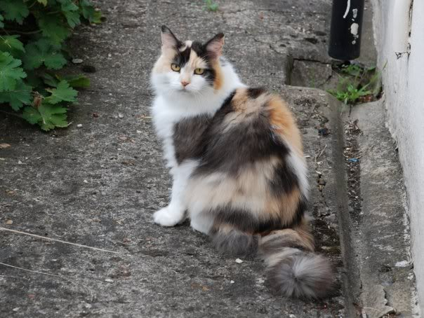 Cat Pictures - Page 2 Longhaired_Calico_Cat