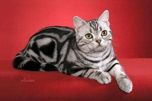 StarClan cats Silver-tabby-cat