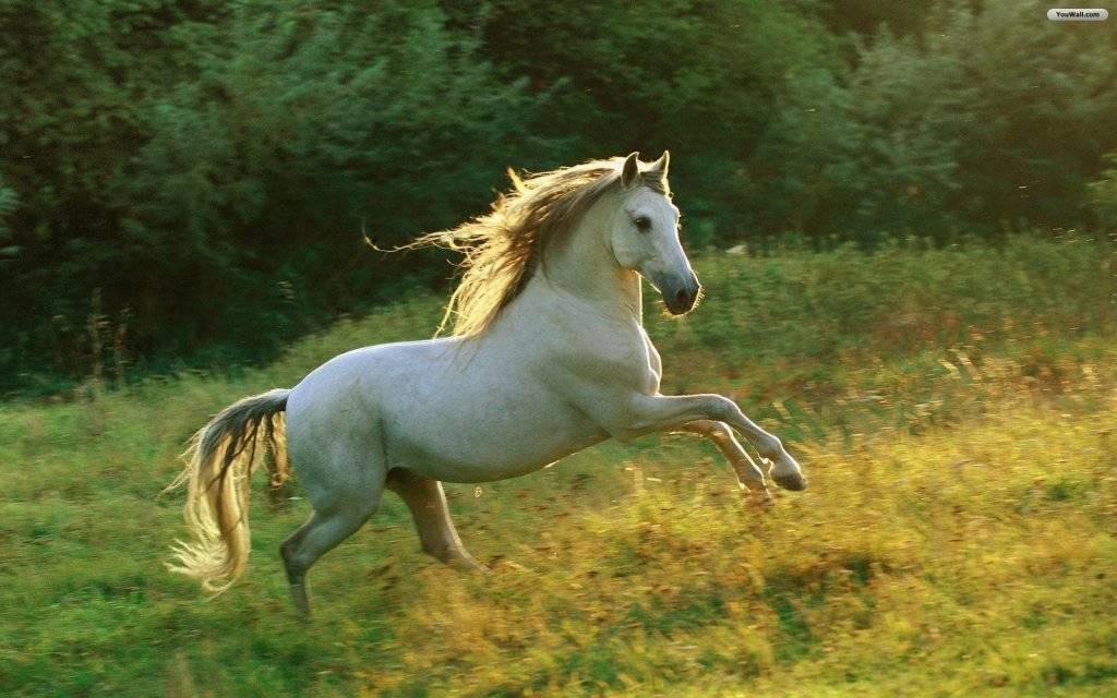 Roxy's creation White_horse_wallpaper_39c69