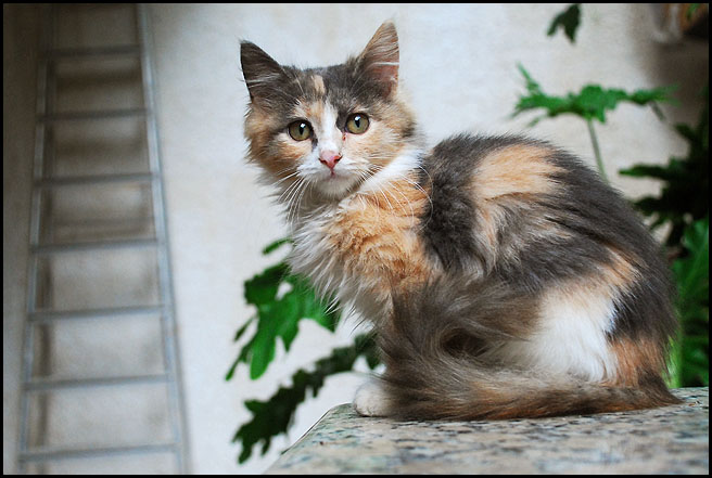 Ψαχνω περσικη τσιντσιλα γατα! DSC_3971