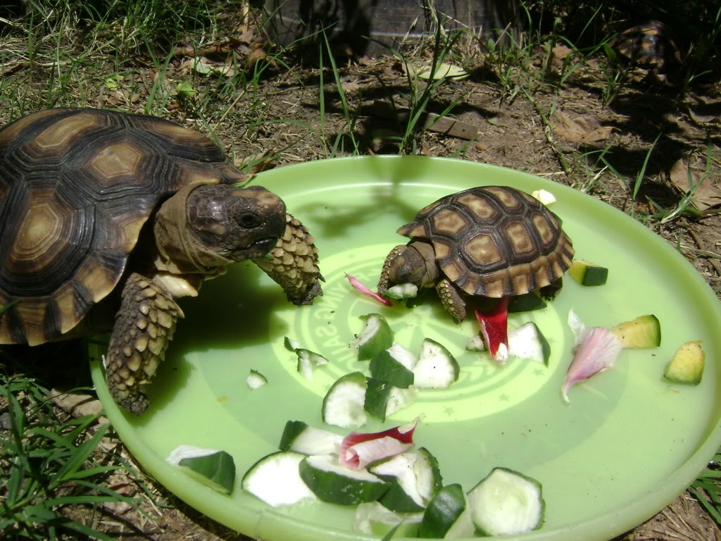 Nuevo integrante de la familia tortuga de tierra. DSC02536