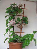 Hoya carnosa Krinkle 8 Th_IMG_0223