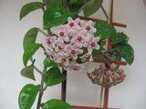Hoya carnosa Krinkle 8 Th_IMG_0224