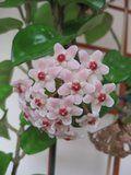 Hoya carnosa Krinkle 8 Th_IMG_0225