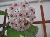Hoya carnosa Krinkle 8 Th_IMG_0300