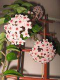 Hoya carnosa Krinkle 8 Th_IMG_0302