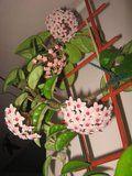 Hoya carnosa Krinkle 8 Th_IMG_0303