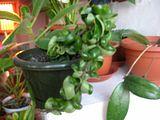 Hoya compacta si compacta regalis Th_IMG_0725