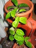 Hoya carnosa Krinkle 8 Th_IMG_4471