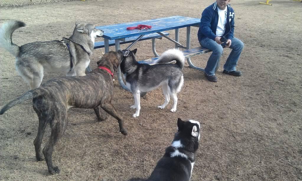 Wolf Husky Pups - Page 2 IMAG0019