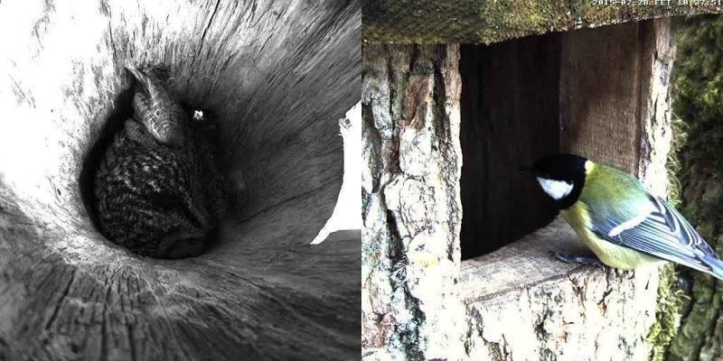 Estonian Tawny Owl Webcam 2015 Vlcsnap-2015-02-28-09h37m54s127