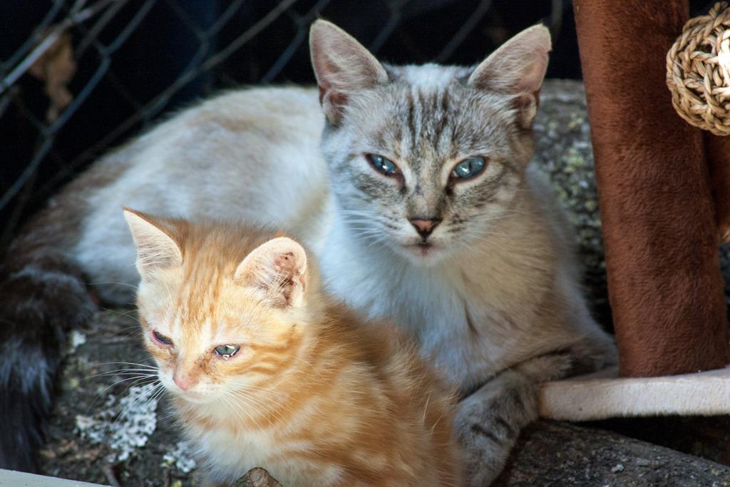 Aïda, femelle type européenne tabby siamois née le 01/10/2013 Famille%20chats%20Guesdonniegravere-11_zpssluehmtc