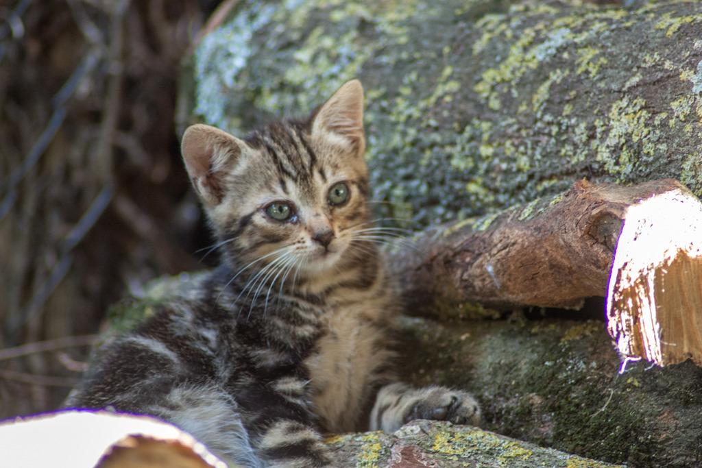 Mowgli, mâle type européen tigré né le 10/07/2016 Famille%20chats%20Guesdonniegravere-12_zpstcxbzzmx