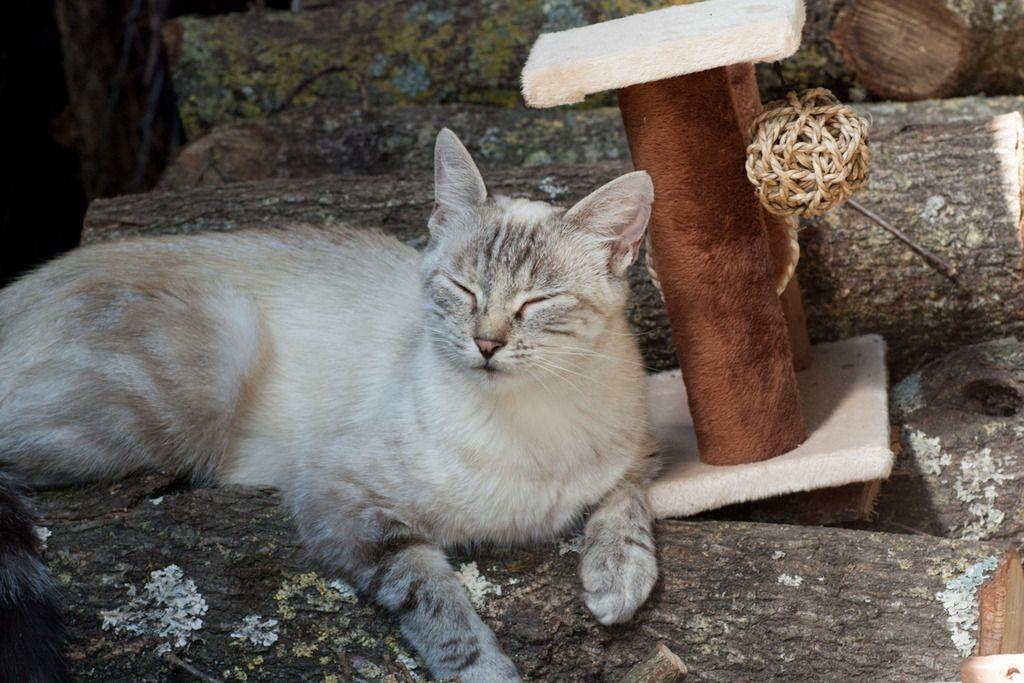 Aïda, femelle type européenne tabby siamois née le 01/10/2013 Famille%20chats%20Guesdonniegravere-15_zpssanic4ho
