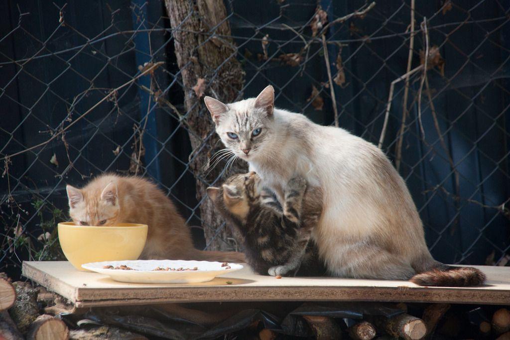 Aïda, femelle type européenne tabby siamois née le 01/10/2013 Famille%20chats%20Guesdonniegravere-4_zpsdcofu4n9