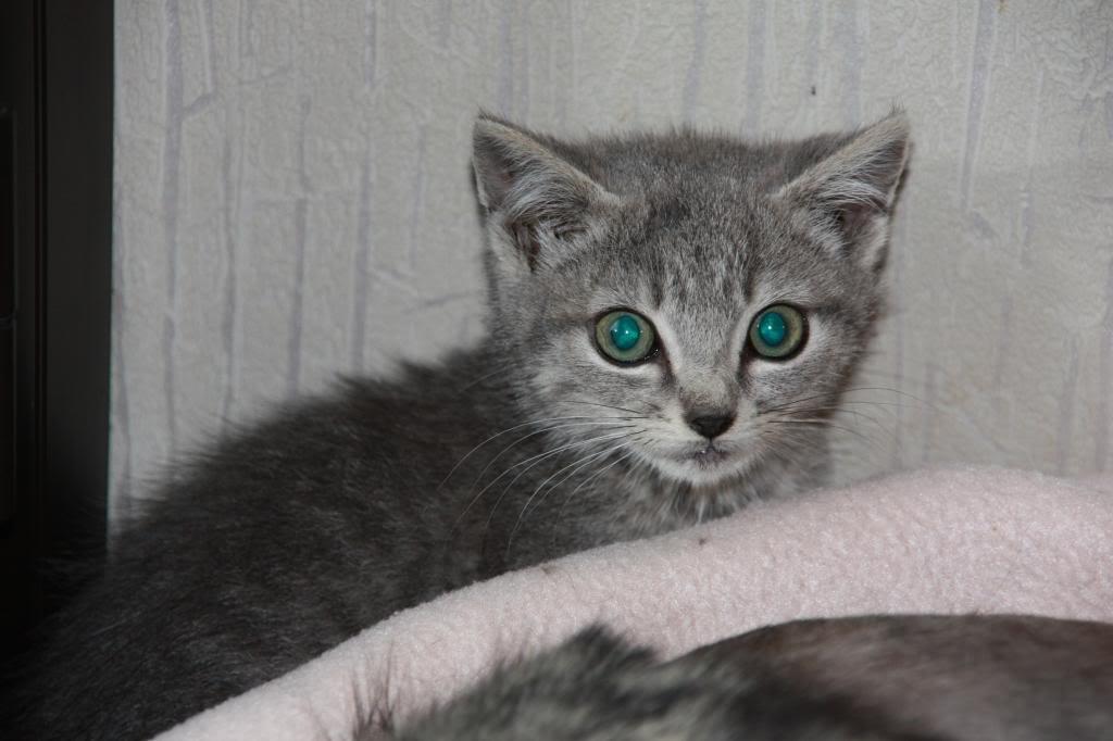 Iva, femelle type européenne tabby grise née 10/06/2013 IMG_8970_zps0a994caf