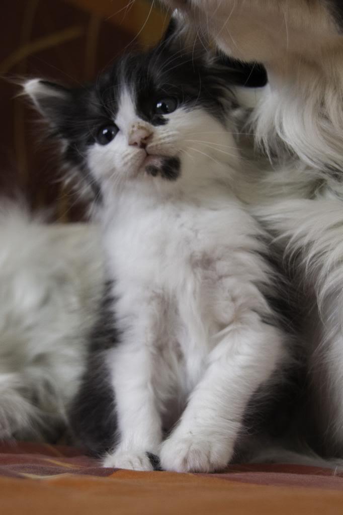 Joy, femelle noire et blanche, née le 1er avril 2014 Joy-11_zpse085bfd1