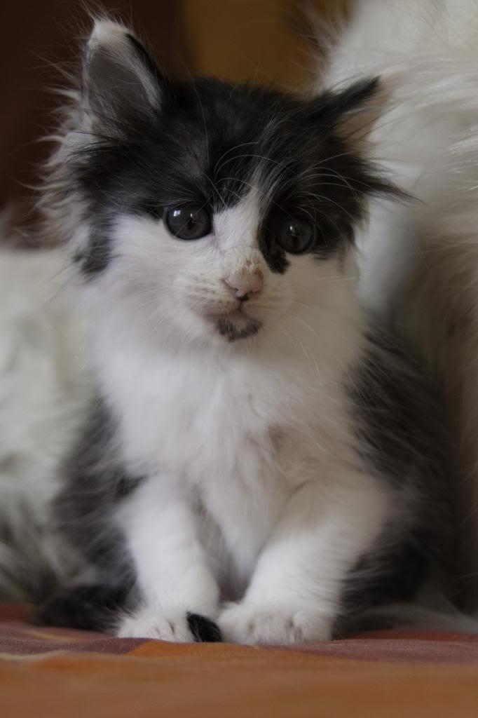Joy, femelle noire et blanche, née le 1er avril 2014 Joy-12_zpsb3c05467
