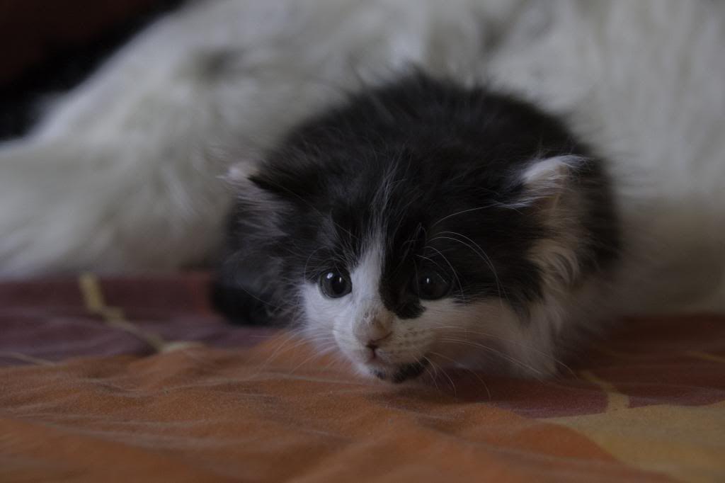 Joy, femelle noire et blanche, née le 1er avril 2014 Joy-6_zps961e341a